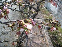 たまプラ桜②.jpg