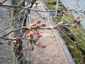 たまプラ桜.jpg